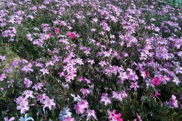 芝樱种子-种植方法-碧春阁种业