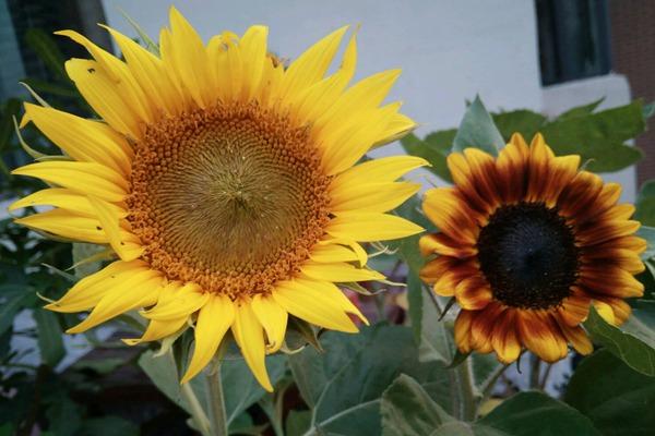 太阳花和向日葵的区别之处-种植方法-碧春阁种业