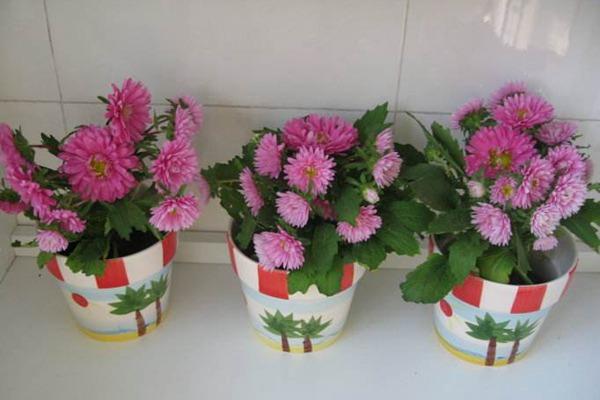 翠菊种子种植方法及注意事项-种植方法-碧春阁种业