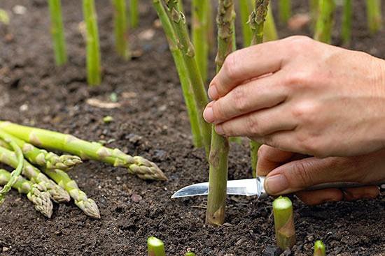 蘆筍的種植時間及種植方法