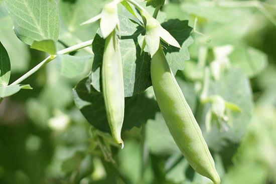 豌豆種植你需要了解的幾個注意事項