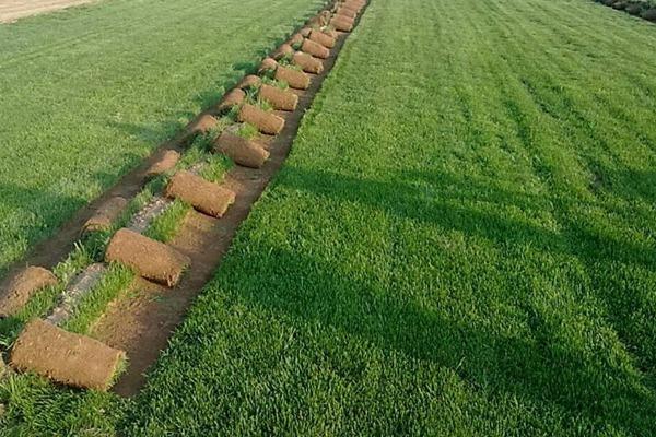 狗牙根草坪的种植方法以及养护技巧