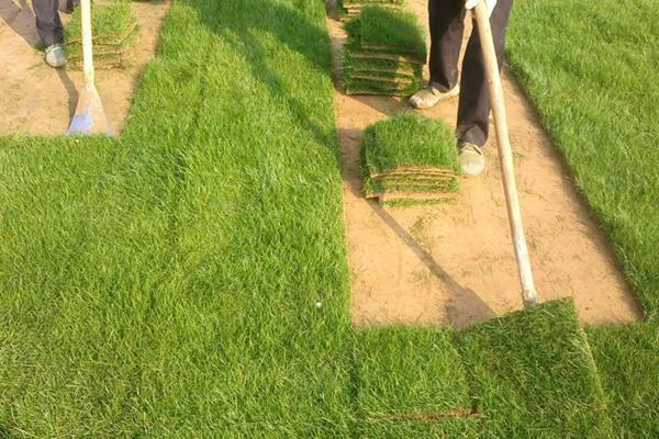 果岭草草籽的播种方法