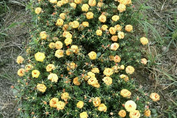重瓣太阳花冬天会被冻死吗-种植方法-碧春阁种业